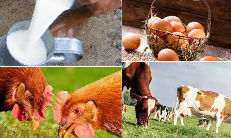 Organik Köy Yumurtasının Özellikleri